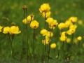 BR95_globeflowers_aaa-600